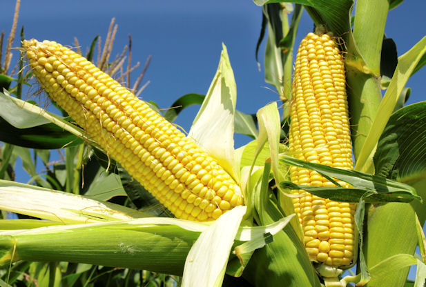 Outrage as CBN gives 4 foreign firms nod to import maize