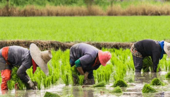 FG, Japan support 150 farmers with rice inputs in Edo
