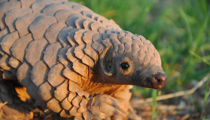 Conservationists call for strict law enforcement, awareness to tackle Nigeria's pangolin trafficking