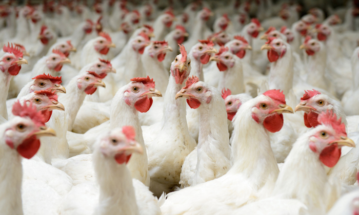 Amid recession, poultry farmers say one chicken may go for N10,000 at Yuletide