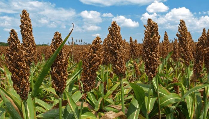 sorghum farm