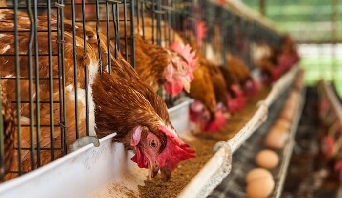 poultry birds